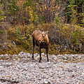 Moose Pawses In Mid-drink by Jeff Folger