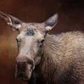 Moose Portrait by Eva Lechner