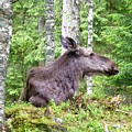 Moose by Renee Pettersson