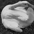 Moose The Goose by Margaret Bobb