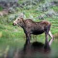 Moose Yellowstone Np_grk6918_05222018 by Greg Kluempers