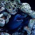 Moray Eel Or Muraenidae Fish by Arletta Cwalina
