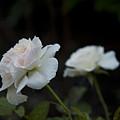 Morden Blush Rose by Joanne McKinnon