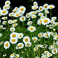 More Daisies  by Tim Fitzwater