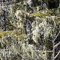 More Hoar On The Cedar by William Tasker