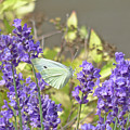 More Lavender Love by Leslie Montgomery