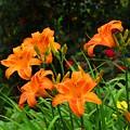 More Orange Daylilies by Kathryn Meyer