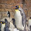 More Snow - King Penguin by Nikolyn McDonald