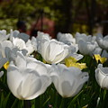 More White Tulips by Constance Woods