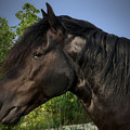 Morgan Horse by Sandra Huston