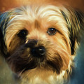 Morkie Portrait by Eleanor Abramson