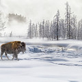 Morning Bison 4  7912-4 by Karen Celella