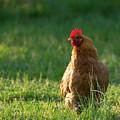 Morning Chicken by Buddy Scott