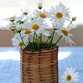 Morning Daisies by Elena Elisseeva
