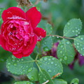 Morning Dew On A Rose by Ben Upham III