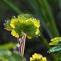 Morning Dew by Susie Peek