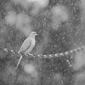 Morning Dove In The Rain by Dan Sproul