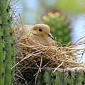 Mourning Dove Nest In A Cactus by Kevin Mcenerney