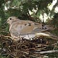 Morning Dove On Her Nest 2 by Dennis Pintoski