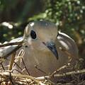 Morning Dove On Her Nest by Dennis Pintoski