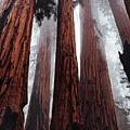 Morning Fog In Redwood Forest by Elaine Plesser