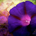 Morning Glory by Gallery Beguiled