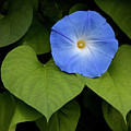 Morning Glory by George Sanquist