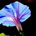 Morning Glory by Kerry Reed