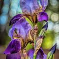 Morning Iris by Diana Powell