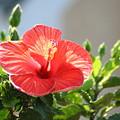Morning Light Hibiscus by Tammy Finnegan