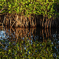 Morning Light Mangrove Reflection by Bob Phillips