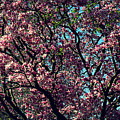 Morning Lit Magnolia by Frank J Casella