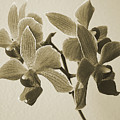 Morning Orchid by Ben and Raisa Gertsberg