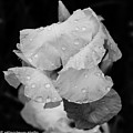 Morning Rain Drops by Danny Baum