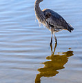 Morning Reflections Of A Great Blue Heron by Debra Martz