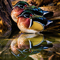 Morning Reflections - Wood Ducks by TL Mair