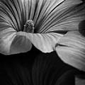 Morning Rose Mallow by Bob Orsillo