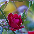 Morning Rose by Wayne Wilkinson