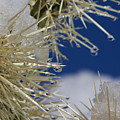 Morning Snow On Cactus Spines #1 by Eric Rosenwald