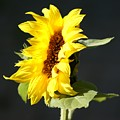 Morning Sunflower by Liz Vernand
