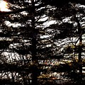 Morning Sunlight Through The Pines by Frank J Casella