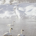 Morning Swan Trio  7845  by Karen Celella