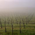 Morning Vineyard by Balanced Art