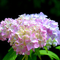 Morning Whisper - Hydrangea by H Cooper