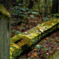 Moss Covered Fence by Jessie Henry