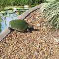 Moss Covered Turtle by Aimee L Maher ALM GALLERY