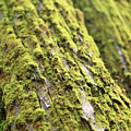 Moss On A Cedar by Tracy Chappell