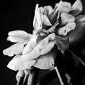 Moss Rose I by Lauren Radke