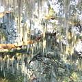 Mossy Live Oak by Carol Groenen