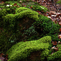 Mossy Rocks In Spring Woods by Jenny Rainbow